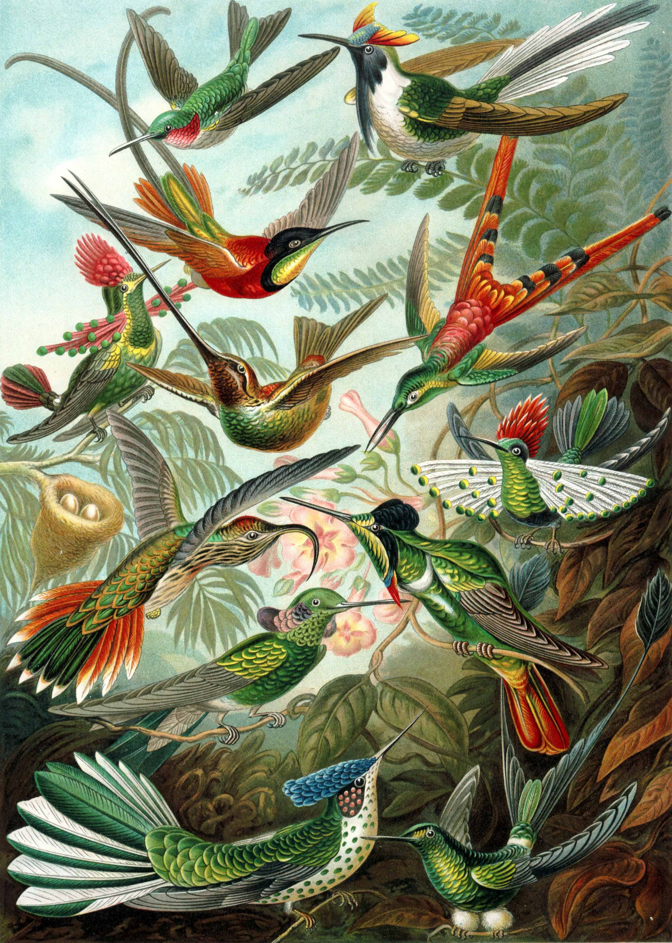 Haeckel's Trochilidae. In the Public Domain.