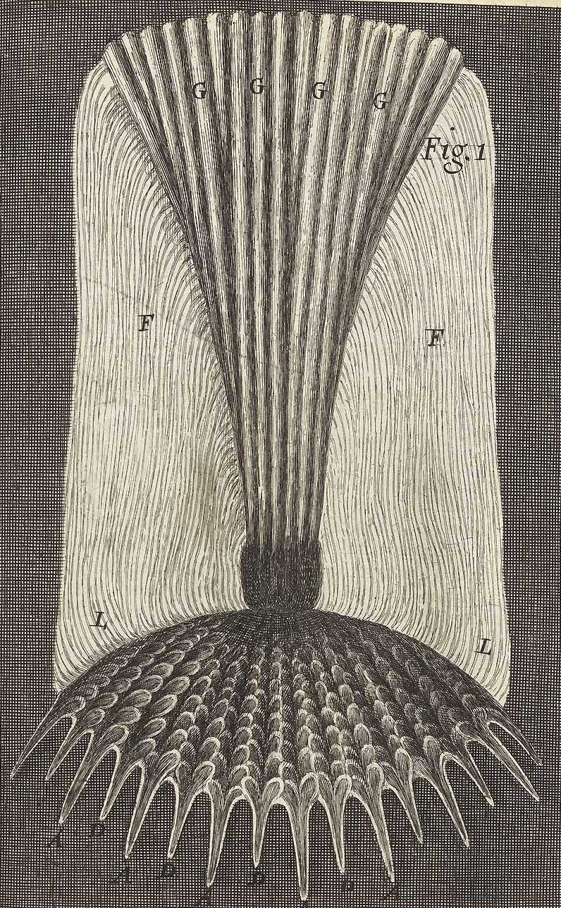 Soal scales from Robert Hooke's Micrographia (1665). In the public domain.