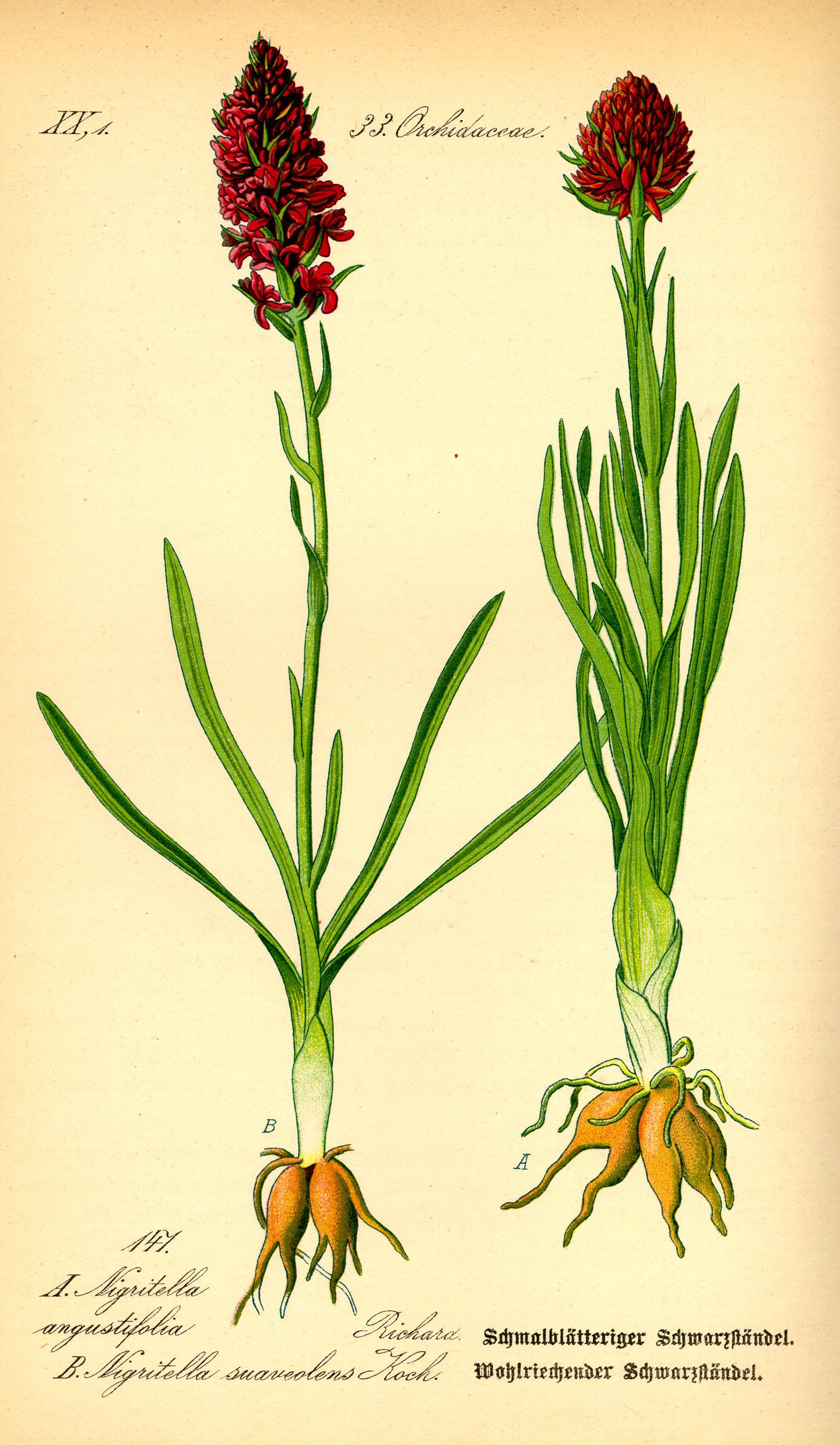 Otto Wilhelm Thomé ''Flora von Deutschland, Österreich und der Schweiz'' 1885, Gera, Germany Permission granted to use under GFDL by Kurt Stueber